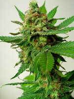Critical Mass Collective - Psychotropic Mass Feminised Cannabis Seeds