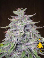 Ace Seeds - Bangi Haze Regular Cannabis Seeds