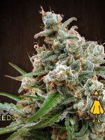 Ace Seeds - Nepalese Jam Regular Cannabis Seeds