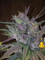 Ace Seeds - Oldtimer's Haze Regular Cannabis Seeds