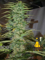 Ace Seeds - Orient Express Regular Cannabis Seeds
