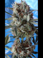 Ace Seeds - Nepal Jam X Kali China Feminised Cannabis Seeds