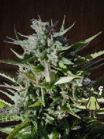 Ace Seeds - Tikal Regular Cannabis Seeds
