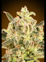 Advanced Seeds - Auto Biodiesel Mass XXL Feminised Autoflowering Cannabis Seeds