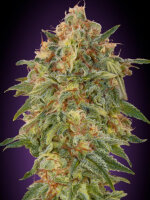Advanced Seeds - Auto Zkittlez Feminised Autoflowering Cannabis Seeds