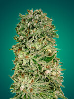 Advanced Seeds - Shark Widow CBD Feminised Cannabis Seeds