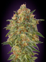 Advanced Seeds - Zkittlez Feminised Cannabis Seeds