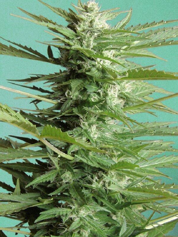 Advanced Seeds - Auto Sweet Dwarf Feminised Autoflowering Cannabis
