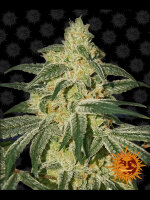 Barneys Farm - Afghan Hash Plant Regular Cannabis Seeds