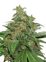 Seed Stockers - AK420 Auto - Feminised Autoflowering Cannabis Seeds