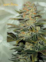 Super Strains - Amajikoym - Feminised Cannabis Seeds
