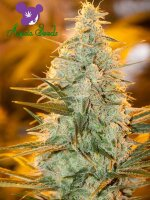 Anesia Seeds - Amnesia Flash Feminised Cannabis Seeds