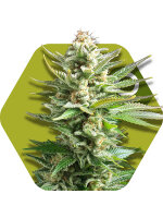 Zambeza Seeds - Amnesia Haze XL Feminised Cannabis Seeds