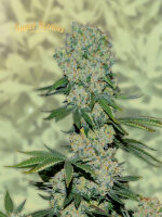 Super Strains - Amnesia - Feminised Cannabis Seeds