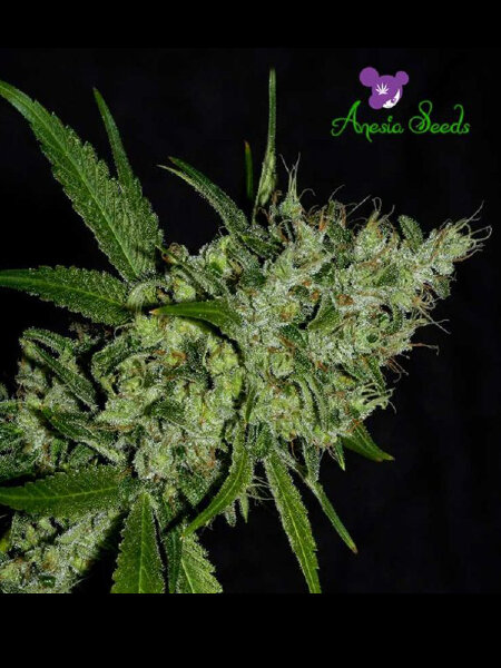Anesia Seeds - Chemdog Feminised Cannabis Seeds
