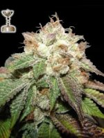 Apothecary Genetics - 98 Bubba Kush 10 Regular Cannabis Seeds