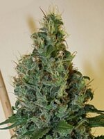 Apothecary Genetics - Congo OG 10 Regular Cannabis Seeds