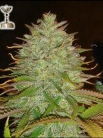 Apothecary Genetics - Kaia Kush 10 Regular Cannabis Seeds