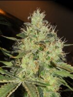 Apothecary Genetics - Lemon Mango OG 10 Regular Cannabis Seeds