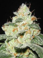 Apothecary Genetics - Rascal OG 10 Regular Cannabis Seeds
