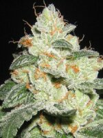 Apothecary Genetics - SFV OG 10 Regular Cannabis Seeds
