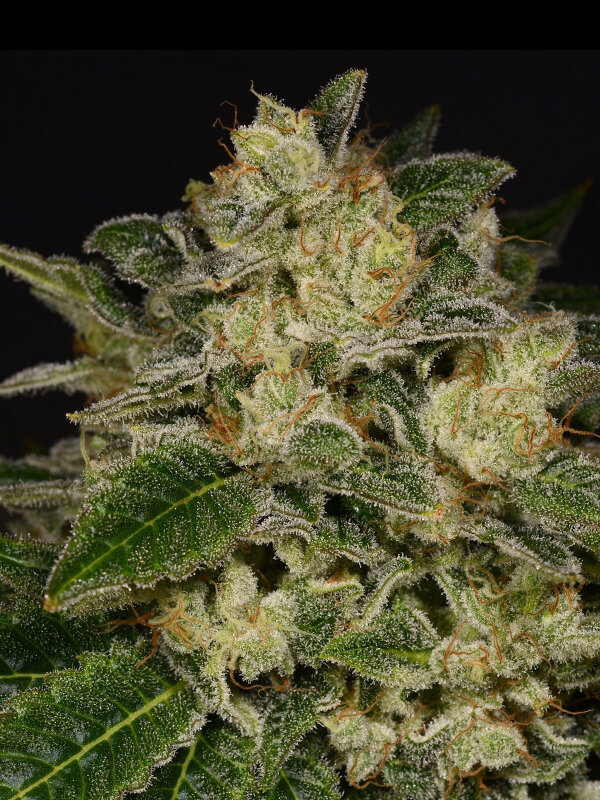 Archive Seedbank - Light Speed Feminised Cannabis Seeds - Ali Bongo