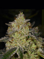 Archive Seedbank - Rose Gold Feminised Cannabis Seeds