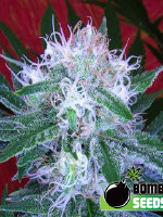 Bomb Seeds - Auto Bomb Feminised Cannabis Seeds