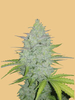Fast Buds Seeds Original Line - Auto Cheese Autoflowering Feminised Cannabis Seeds