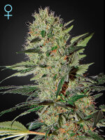 Green House Seeds - Auto Exodus Cheese CBD Feminised Autoflowering Cannabis Seeds