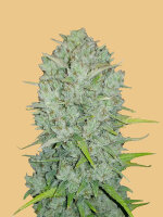 Fast Buds Seeds Original Line - Auto Northern Lights Autoflowering Feminised Cannabis Seeds