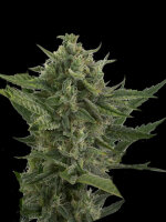 Devil's Harvest Seeds - Auto Reek'n Feminised Autoflowering Cannabis Seeds