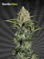 Auto Seeds - Gorilla Glue Autoflowering Feminised Cannabis Seeds
