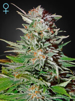 Green House Seeds - Auto Super Lemon Haze CBD Feminised Autoflowering Cannabis Seeds