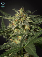 Green House Seeds - Auto White Widow CBD Feminised Autoflowering Cannabis Seeds