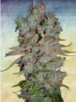 Ministry of Cannabis - Auto Blueberry Domina Feminised Autoflowering Cannabis Seeds