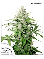 Dutch Passion - Auto Cinderella Jack Feminised Autoflowering Cannabis Seeds