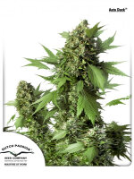 Dutch Passion - Auto Duck Feminised Autoflowering Cannabis Seeds