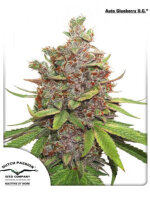 Dutch Passion - Auto Glueberry OG Single Feminised Autoflowering Cannabis Seeds