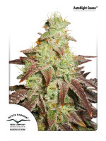 Dutch Passion - Auto Night Queen Feminised Autoflowering Cannabis Seeds