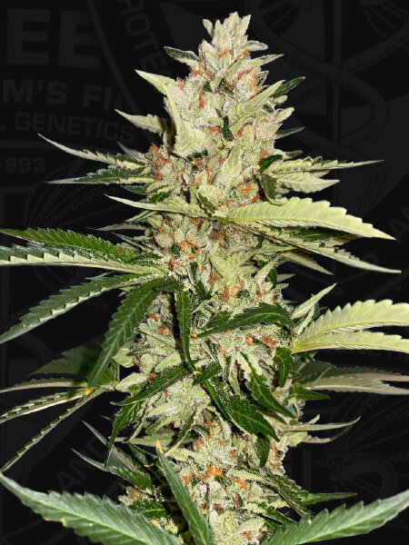 T H Seeds - Banana Candy Krush Feminised Cannabis Seeds