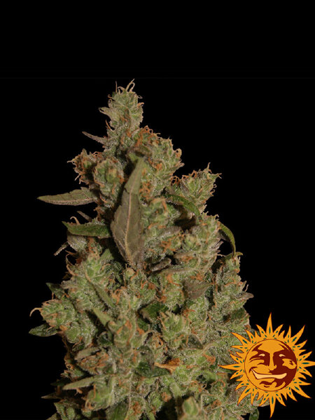 Barneys Farm - CBD Critical Cure Feminised Cannabis Seeds