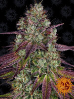 Barneys Farm - Mimosa Evo Feminised Cannabis Seeds