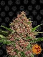 Barneys Farm - Purple Punch Auto Feminised Autoflowering Cannabis Seeds