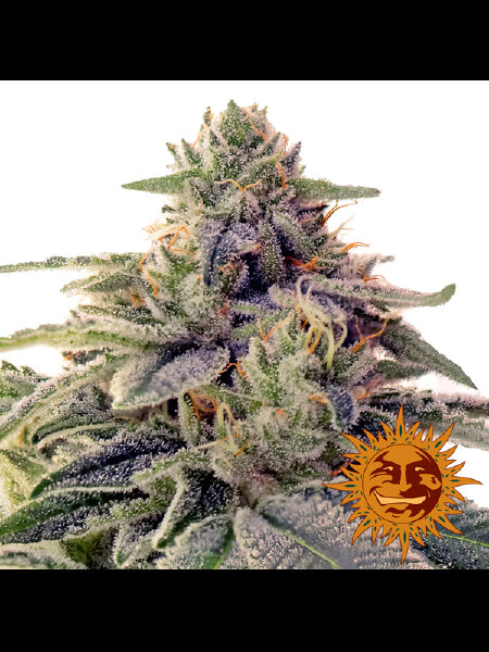 Barneys Farm - Shishkaberry Feminised Cannabis Seeds