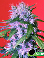 Bomb Seeds - Berry Bomb Regular Cannabis Seeds