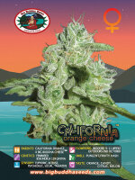Big Buddha Seeds - California Orange Cheese Feminised Cannabis Seeds