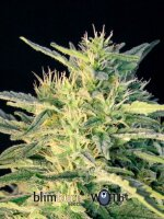 Blimburn Seeds - Wombat Feminised Cannabis Seeds