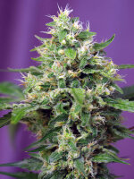 Sweet Seeds - Blow Mind Auto Feminised Cannabis Seeds