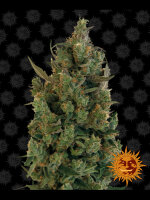 Barneys Farm - Blue Cheese Feminised Cannabis Seeds